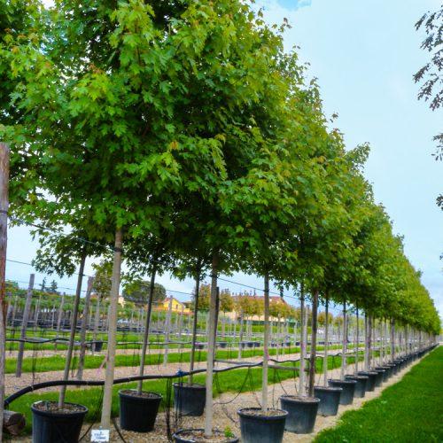 Acer buergerianum clt 110 alto fusto.Prato.2013-18