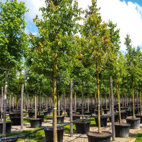 Acer campestre clt 180 alto fusto.Prato.2013-6