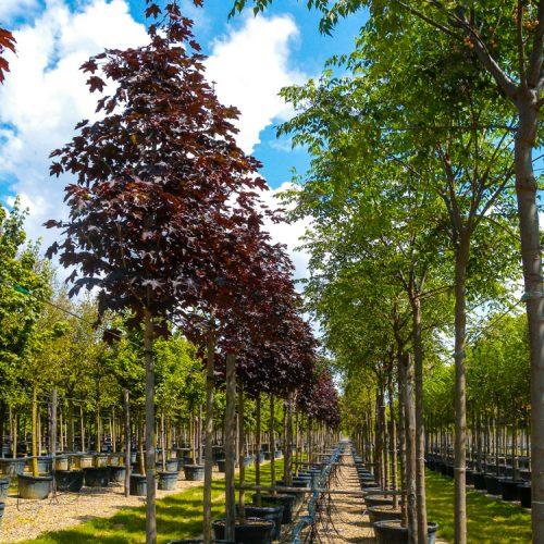 Acer pl. crimson king e Melia azedarach clt 180 a. fusto.Prato.2013-12