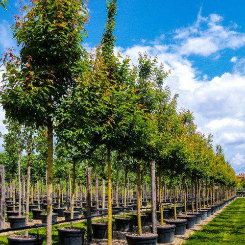 Acer tataricum subspecie ginnala clt 180 alto fusto.Prato.2013-14
