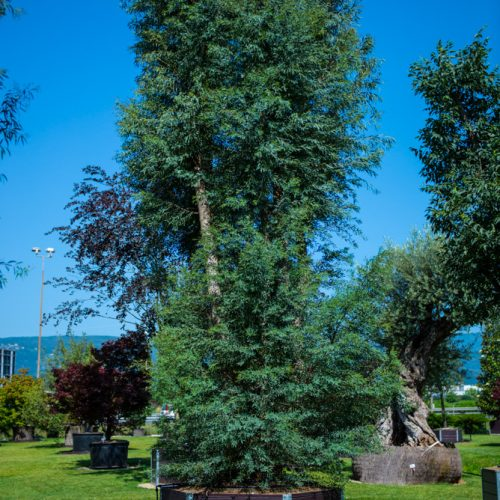Eucalyptus rostrata camaldulensis-12