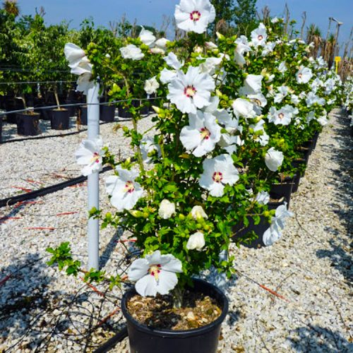 HIBISCUS SYRIACUS RED HEART CLT18-29
