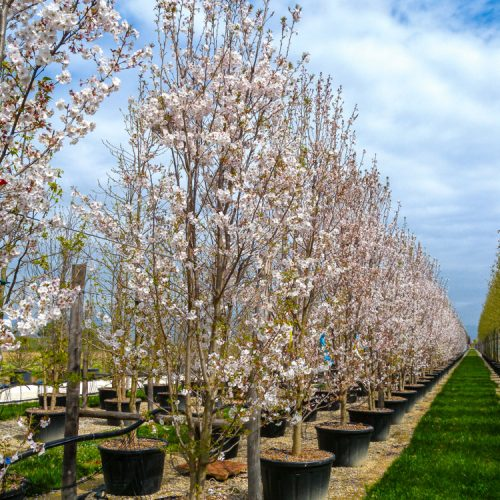 Prunus serrulata Sunset boulevard clt 200 cespuglio-Prato_2013-2