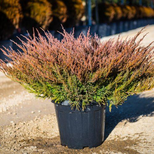 juniperus horiz-2-14