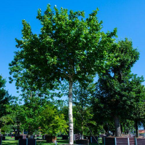 platanus acerifolia hispanica-6