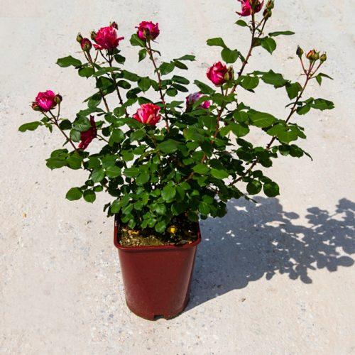 rose_giugno-14-1