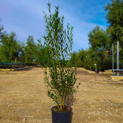 Phyllirea-angustifolia-cespuglio-24-id13946