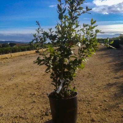 Quercus-ilex-cespuglio-24-id14121