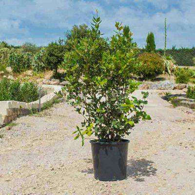 Quercus-ilex_cespuglio_vaso_30