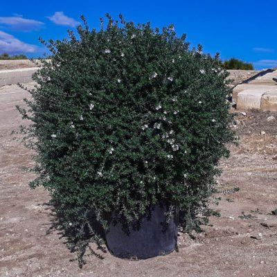 Westringia-fruticosa-palla-40-id12395