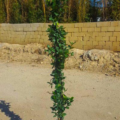 rhyncospermum-jasminoides-24-1-canna-h-180