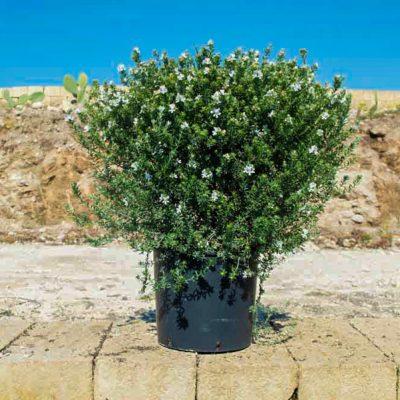 - westringia bianca vaso 24