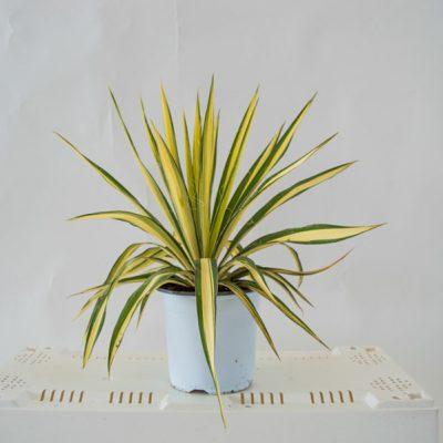 yucca-filamentosa-cologuard-17
