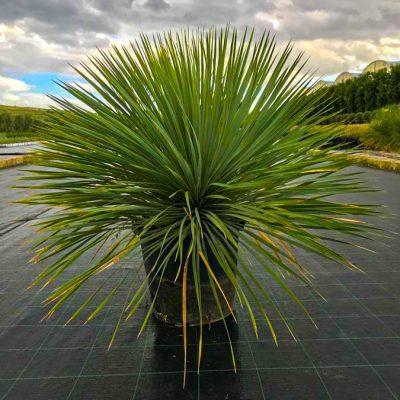 yucca-rostrata-multitronco-40